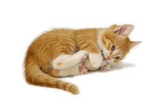 Free Cat And Mouse Royalty Free Stock Photos - 2993708