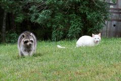 Cat And Raccoon Royalty Free Stock Photo