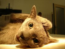 Cat in anesthesia Royalty Free Stock Image