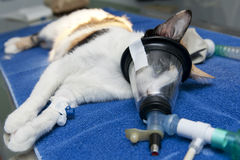 Cat anesthesia. Preparation of an operation of a cat. Anesthesia stock image