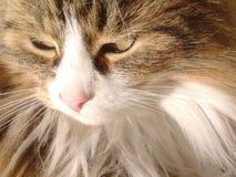 Cat Angel Stock Image