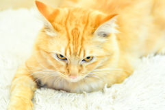 Cat. An angry cat on the carpet Royalty Free Stock Image
