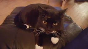 Cat animal cute. Black eye chair Royalty Free Stock Photos