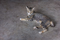 Cat. Animal,floor,pet,cute Royalty Free Stock Photos