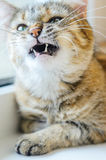 Cat with an animal grin. Angry cat with a grin. Wild essence of a pet concept Stock Photography