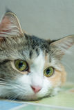 Cat. Animal mammal pets miss wire eye ear Royalty Free Stock Images