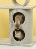 Cat animal pet. Two cats play on the rack Royalty Free Stock Images