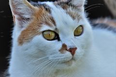 Cat, Animal, White, Pet, Cat'S Eyes Stock Images