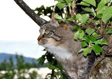 Cat in apple tree Royalty Free Stock Photo