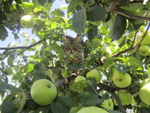 Cat and apple. Cat on the apple tree Stock Photography