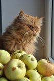 Cat and Apples Royalty Free Stock Photography