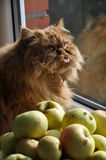Cat Apples Royalty Free Stock Image