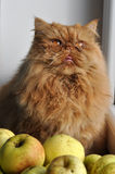 Cat Apples Stock Images