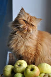 Cat Apples Stock Photo