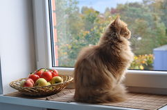 Cat and Apples Royalty Free Stock Photo