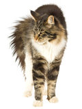 Cat arching back, on white background. Cat stretching and arching back, on white background Royalty Free Stock Images