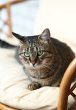 Cat in an armchair. Royalty Free Stock Images