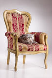 Cat On Armchair Stock Photos