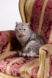 Cat On Armchair Royalty Free Stock Images