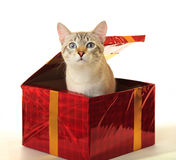 Cat as a gift. Royalty Free Stock Photos