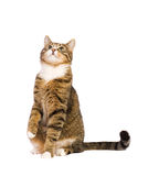 Cat asking, looking up at copy space. Royalty Free Stock Photo