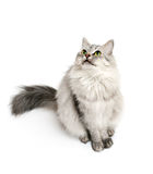 Cat asking to feed him. Beautiful furry cat looking up and waiting for food royalty free stock photos