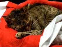 Cat,pet,sleepyhead,animal,christmas time,christmas. Asleep Cat on the cap of santa claus Stock Photo