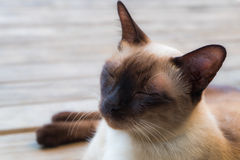 Cat asleep. Close up view of cute asleep thai cat on wooden deck background, selective focus Stock Photos