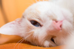 Cat asleep Royalty Free Stock Photos