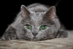 Cat Attack. Russian blue cat ready to attack his target Royalty Free Stock Images