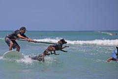 Cat Attack. Event: Duke Kahanamoku OceanFest 2016 Location: Offshore Kuhio Beach, Waikiki, island of O'ahu, Hawai'i, USA Subject: The Canine Surfining stock photo