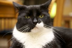 Cat with attitude. Black and white cat with attitude Stock Photography