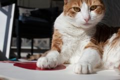 Cat with an attitude. Indoor house cat with an attitude paws stretched out stock photo