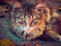 The cat in autumn royalty free stock photos