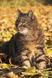 Cat in autumn. Adult cat sitting on fallen leaves Stock Image