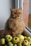 Cat autumn apples Royalty Free Stock Photo