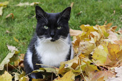 Cat and autumn Royalty Free Stock Photography