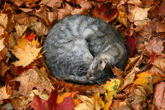 Cat in autumn leaves royalty free stock image