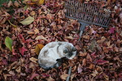 Cat and autumn leaves royalty free stock photography