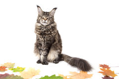 The cat is on autumn leaves Stock Photos
