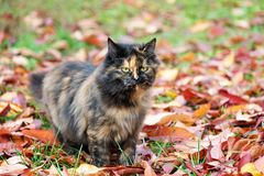 Cat in autumn park. Tortoiseshell kitten walking on colorful fallen leaves outdoor. royalty free stock images