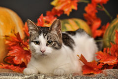Cat in autumn with pumpkins Royalty Free Stock Photography