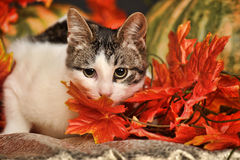 Cat in autumn with pumpkins Royalty Free Stock Images