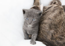 Cat babie next to mother Stock Photos