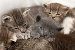 Cat babies. A heap of cat is cuddly babies on their mother Royalty Free Stock Photos