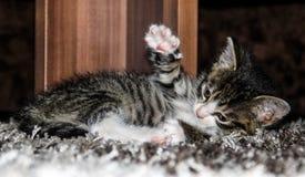 Cat Baby Fotografia Stock Libera da Diritti