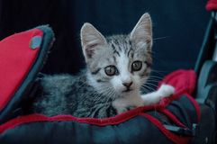 Cat in a baby carriage Royalty Free Stock Images