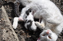 The cat and the baby cat. Mommy cat feading the little newborn kitten on a sunny day Royalty Free Stock Photos