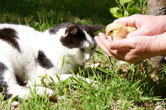 Cat and baby chick stock images