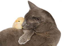 Cat with baby chick. Isolated on white background Stock Photo